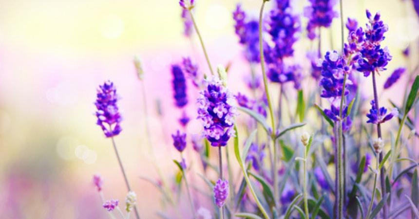 Koop lavendel, tuinplant in vlodrop