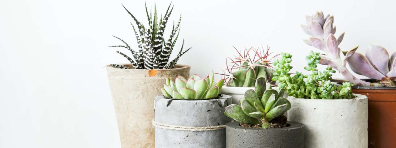 Cactus en vetplant kopen | Tuincentrum Schmitz