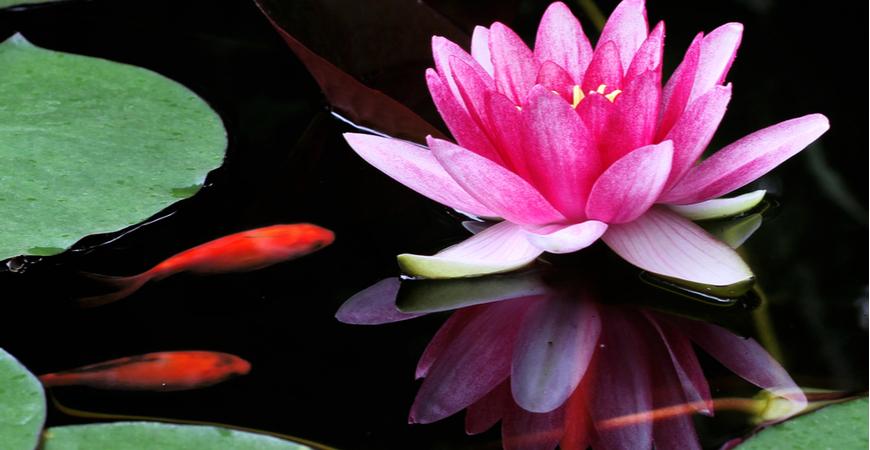 waterplanten voor de vijver kopen